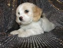 Female Cavachon Puppy for sale #35 Born October 21st 2012|Ready December 2012|Christmas Puppies 2012