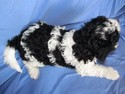 Male Black and White Cavachon Puppy for sale #41 Born Oct. Ready this Christmas|Credit cards accepted|Visa and MasterCard