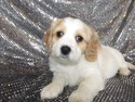 Male Cavachon Puppy for sale #40|ready Christmas 2012|Shipping to all major airport only $150|Philadelphia Pennsylvania, Boston Massachusetts, and Providence Rhode Island only $150