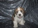 Male Cavachon Puppy for sale #32, Shipping $150 to Boston MA or Baltimore Maryland, Ready Christmas 2012