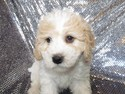 Female Cavachon Puppy for Sale #33 Ready This Christmas 2012|Visa and MasterCard Credit Cards Accepted