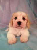 Male cavachon puppy for sale in Iowa #12 Born March 23rd 2013|Cavachon Breeders in Illinois and Wisconsin are welcome at Purebredpups!