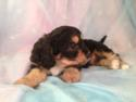 Male cavachon Puppy #13|Looking for a cavachon Breeder near Illinois or Wisconsin? Purebredpups is located in North Iowa. E-Z Find