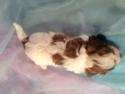 Female cavachon Puppy for sale in North Iowa #11 Born March 23rd 2013|Cavachon Dog breeders in Iowa along the Iowa, Minnesota Border