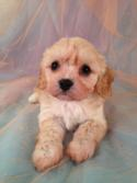 Female cavachon Puppy for sale #10 Born March 23rd 2013|Iowa Cavachon Breeders with Puppies available Now! 1-641-588-3110