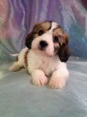 Tri colored Male Cavachon Puppy for Sale #5 DOB 10-25-14 $675 Easy pick up for buyers located in Wisconsin, Iowa, Minnesota, and Illinois!
