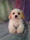 Female apricot and white Cavachon Puppy for sale in Iowa #2 DOB 11-13-14 Puppies for only $675 Iowa's top cavachons for sale!