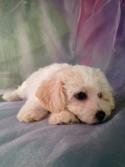 Sleepy Little Male Cavachon Pup for Sale in North Iowa #3 DOB 11-13-14 Iowa's Top Cavachon Breeder Sells Cavachons for $675