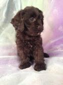Male cavachon Puppy for sale #2 DOB 10-25-13|Cavachon Breeders with Cavachons for sale