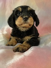 Male Cavachon puppy for sale #11 Born September 15, 2011