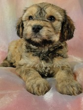 Male Cavachon pups Puppy for sale #8 Born September 15, 2011