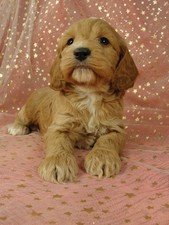Cockapoo pups for sale Male Puppy #34 Born September 11, 2011