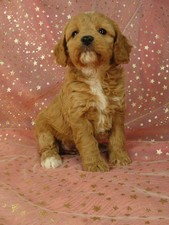 Female cockapoo puppy for sale #37 Born September 11, 2011