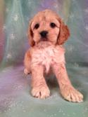 Male Cockapoo Puppy for sale #4 Born Sept. 14th, 2013|Cockapoo Breeders in Pennsylvania have a hard time matching the Quality of Cockapoos for sale at Purebredpups!