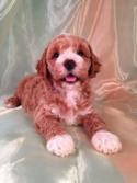 Male Red Cockapoo Puppy for sale in Iowa DOB 6-14-14 Short drive for Buyers located in Wisconsin, Minnesota, and Illinois. Puppies are located in North Central Iowa. Joice Iowa 50446