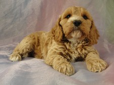 Male Cockapoo Puppy for sale #1 Born February 15, 2012