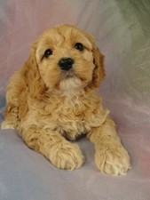 Female Cockapoo Puppy for sale #25 Born February 15th 2012