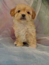 Female Lhasa Bichon Puppy for sale #31 Born February 15th 2012