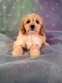 cockapoo puppy for sale #1 DOB 10-21-13