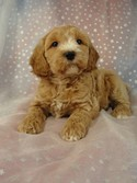 Male Cockapoo 37 puppy for sale in North Iowa 2012
