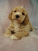 Male Cockapoo 38 for sale Breeder 2012