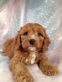 Dark apricot male cockapoo for sale|Iowa breeder 2012