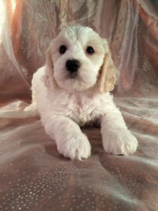 White and Apricot Male Cockapoo Puppy for sale $875