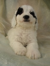 Male Cockapoo puppy for sale #4 Born February 20th 2012