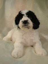 Male Cockapoo Puppy for sale #3 Born February 20th, 2012
