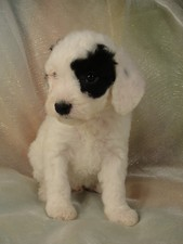 Male cockapoo Puppy for sale #5 Born February 20th 2012
