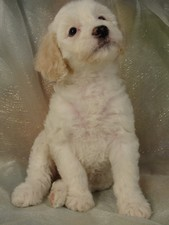 Female Cockapoo Puppy for sale #10 Born February 10th 2012