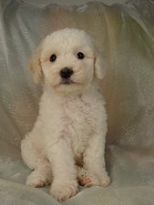 Male cockapoo puppy for sale #9 Born February 20th 2012