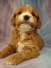Female Cockapoo Puppy for sale Born December 27, 2011