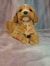 Female Cockapoo puppy for sale #9 Born December 27, 2011