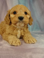 Male cockapoo Puppy for sale #10 Born December 27, 2011