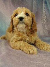 Male Cockapoo Puppy for sale #15 Born December 25, 2011