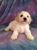 Male Cockapoo Puppy for sale #2 Born June 10th, 2013|Cockapoos for sale in Illinois and Wisconsin can be hard to locate if this is the color you are looking for