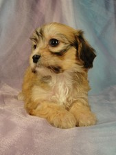 Female Cavachon Puppy for sale #5 Born December 20, 2011