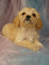 Female Cavachon puppy for sale #6 Born December 20, 2011