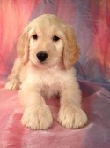 Golden Doodle Puppies for Sale Iowa Breeder 2012