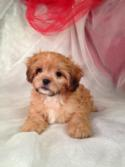 Red Male Lhasa Bichon Puppy for sale #3 DOB 3-1-15 $675