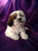 Female Lhasa Bichon Puppy for Sale.  Sable and White Markings.