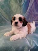 Male Lachon #12 DOB 10-20-14 Puppies for sale can travel to Minnesota, Illinois and Wisconsin by the middle of December.