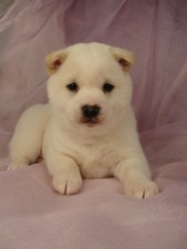 Male Cream Shiba Inu Puppy for sale #10 Born November 19, 2011