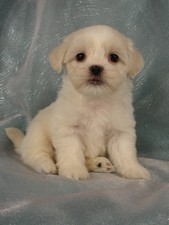 Male Lhasa Bichon Puppy for Sale #25 DOB 5-1-11