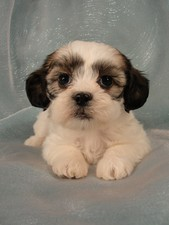 Female Lhasa Bichon Puppy for Sale #20 DOB 5-1-11