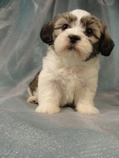 Male Lhasa Bichon Puppy for Sale #21 DOB 5-1-11