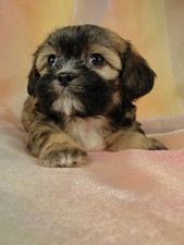 Female Lhasa Bichon puppy for Sale #22 DOB 5-1-11