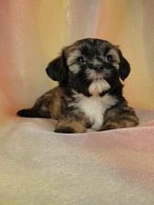 Female Lhasa Bichon Puppy for Sale #27