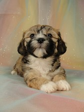 Female Lhasa Bichon Puppy for Sale #23 DOB 5-1-11